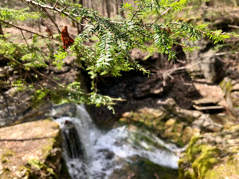 Pine branch and water
